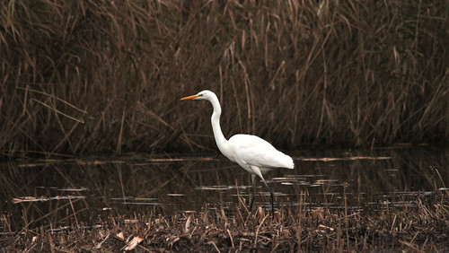Record shot: Great white Egret
