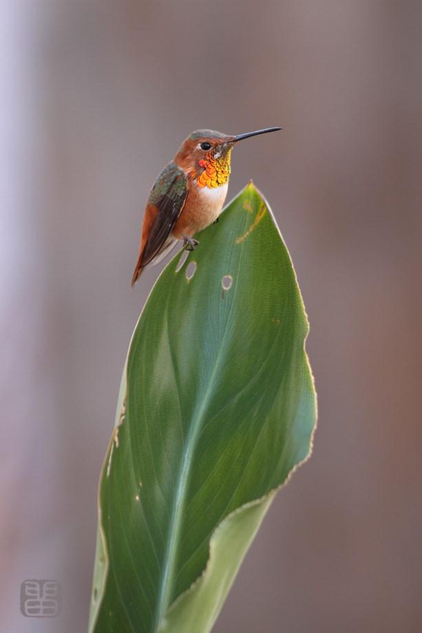 Allen's Hummingbird 122513-3