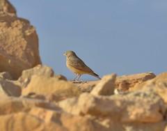 DSC_2690-Desert Lark