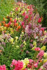 annual plant, shrub, flower, garden, plant, herb, wildflower, flora, meadow, snapdragon,