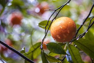 mandarin hanging  on the tree