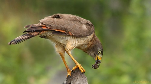 Gavião-carijó | Roadside Hawk  (Rupornis magnirostris)
