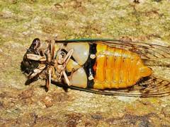 Cicadas Cicadoidea of Whitsunday Shire
