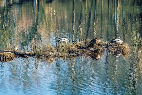 reflections wetland thurstoncounty nisquallynationalwildliferefuge nisquallyriverdelta