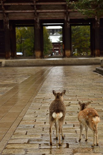 Mother and child of the deer in front of Nandaimon Gate of Todai-ji temple.