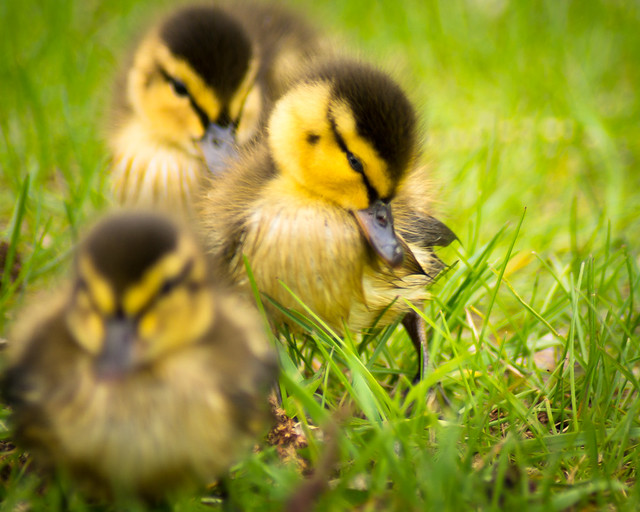 Ducks, Duck, Ducklings, Spring, Grass, Fuzzy