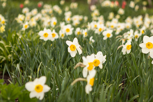 flower spring narcis narcissus nartsiss