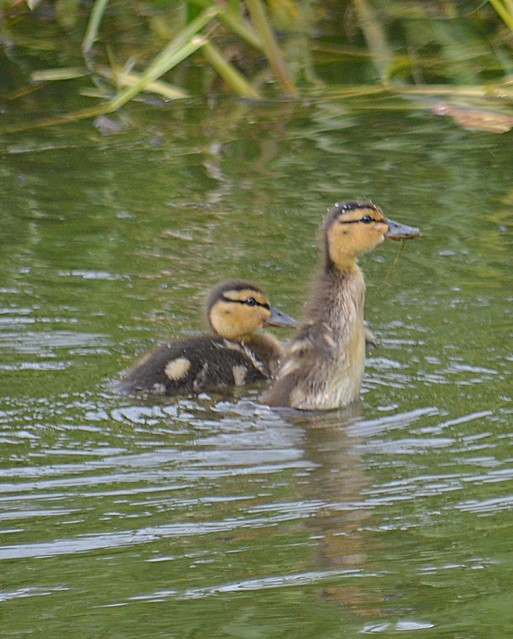Nosy little duckling