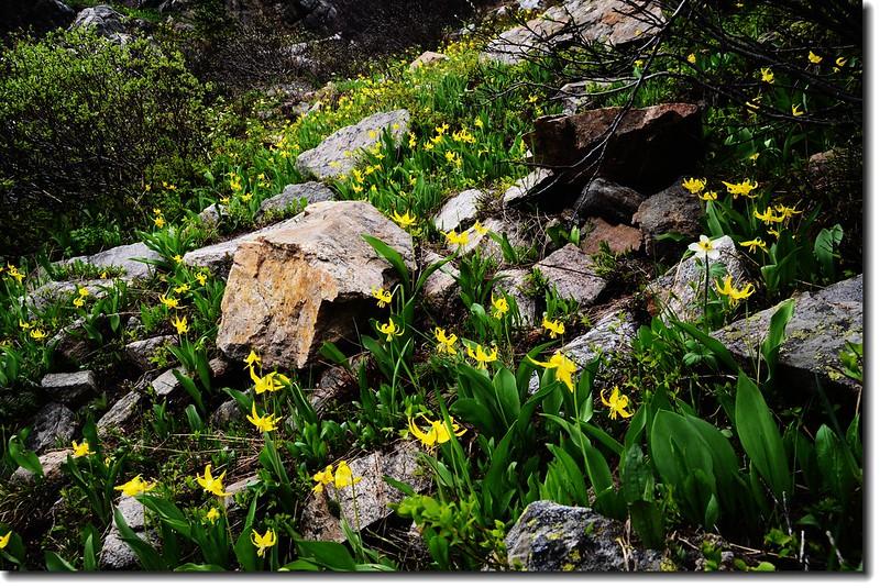 Glacier Lily 11