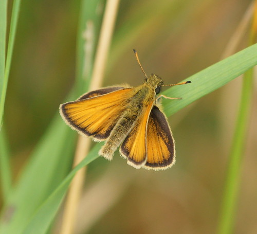 Essex Skipper (Thymelicus lineola)