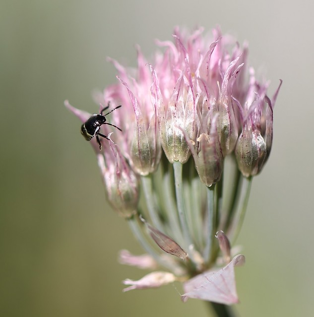 Schnittlauchblüte und Insekt, Canon EOS 6D, EF100mm f/2.8L Macro IS USM