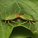 Hemiptera ♂ ♀ (Stink Bug sp.) - Guernsey