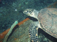 Night diving with Turtlles Image