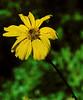J20161020-0038—Encelia californica—RPBG—DxO
