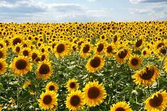 [2015-08-02] Sunflowers