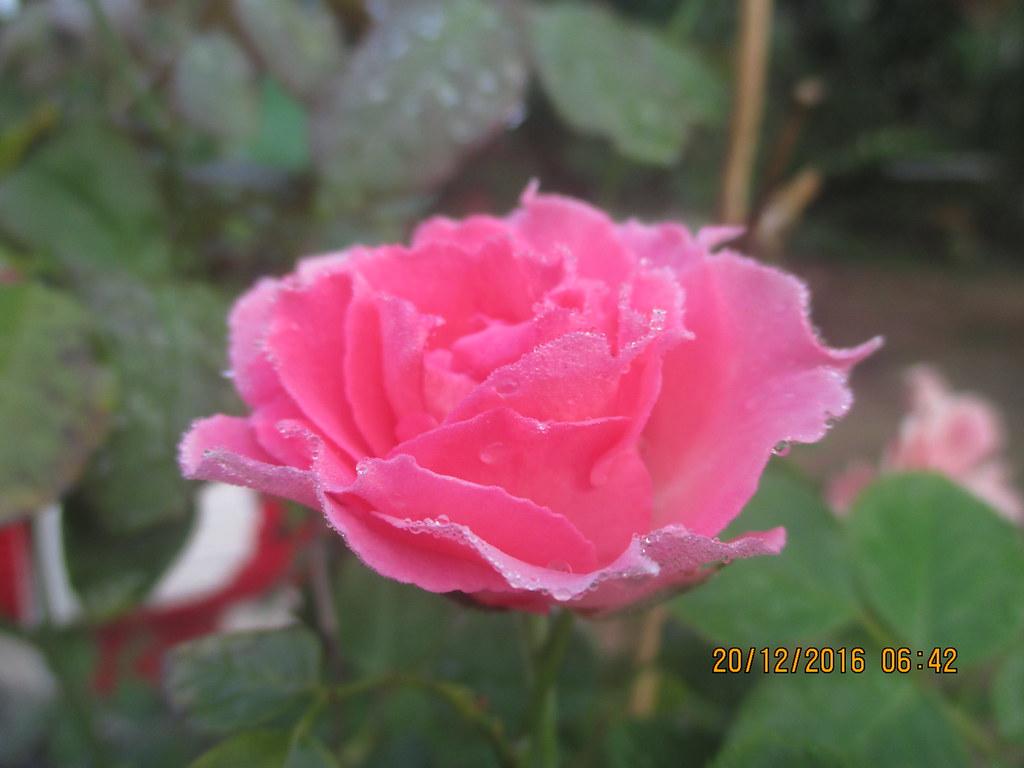 cham soc hoa hong nhung sa dec (6)