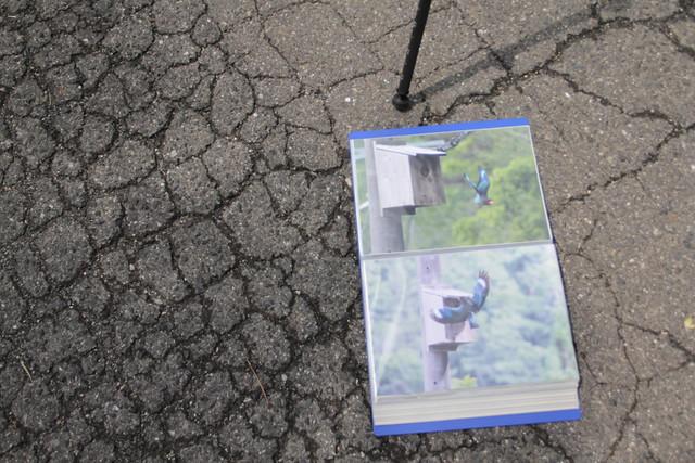 ご近所に住む上田さんが観察しているブッポウソウの写真.青い羽と赤いクチバシが鮮やか.