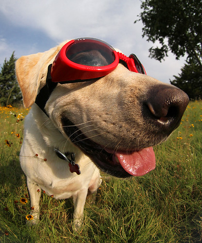 Dog With Doggles