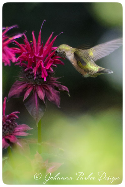 Hummingbird-with-Beebalm
