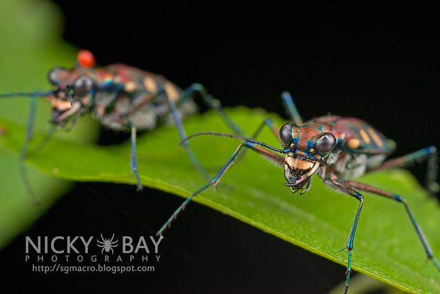 Tiger Beetles (Cicindelinae) - DSC_0685