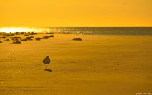 bird seagull gull plumisland greatblackbackedgull sandypoint gbbg