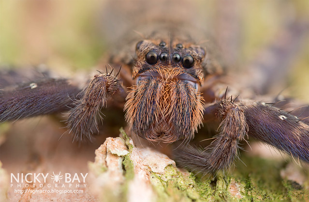 Huntsman Spider (Heteropoda lunula?) - DSC_1721