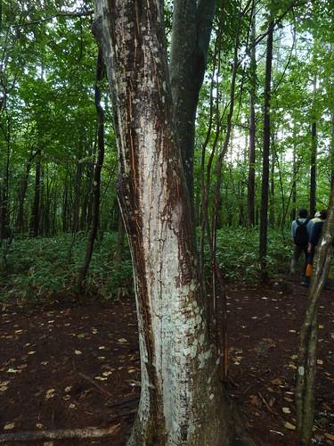 陛下御触れのウリハダカエデ ベルツの森