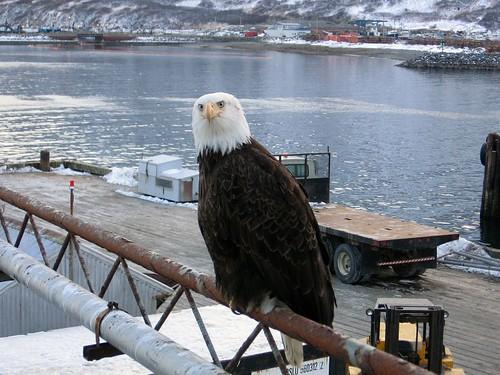 Alaskan Eagle_King Cove_IMG_0033