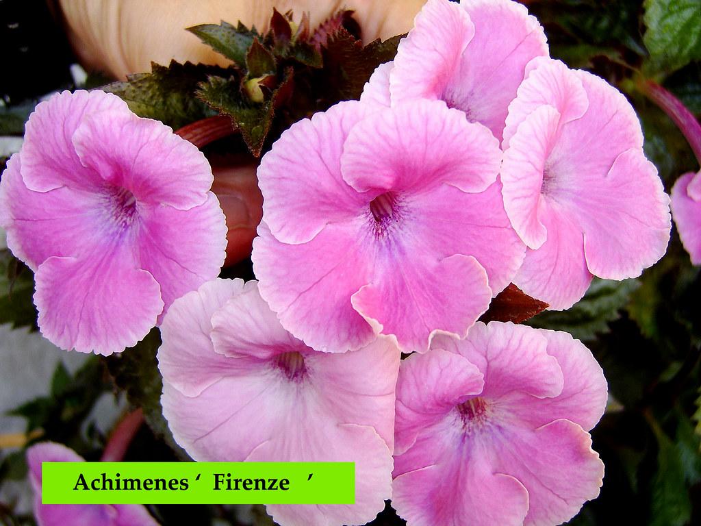 Achimenes wielkokwiatowy  Rośliny doniczkowe