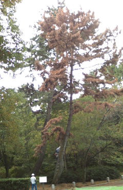 Poor pine..