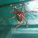 Octopus Capitola by neas