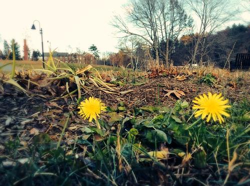 November Dandelions