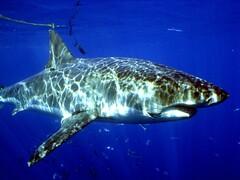 大白鯊是華盛頓公約附錄Ⅱ保護物種,也上了台灣民眾的餐桌。(圖片來源:荒野保護協會)