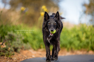 Max the Border Collie Mix