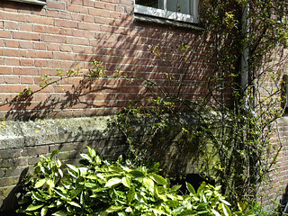 A picture of urban still life: shrubs full of early leaves in sunlight of Spring on a brick wall, in the street HoogteKadijk, Amsterdam city; photo urban photography Fons Heijnsbroek, 2013