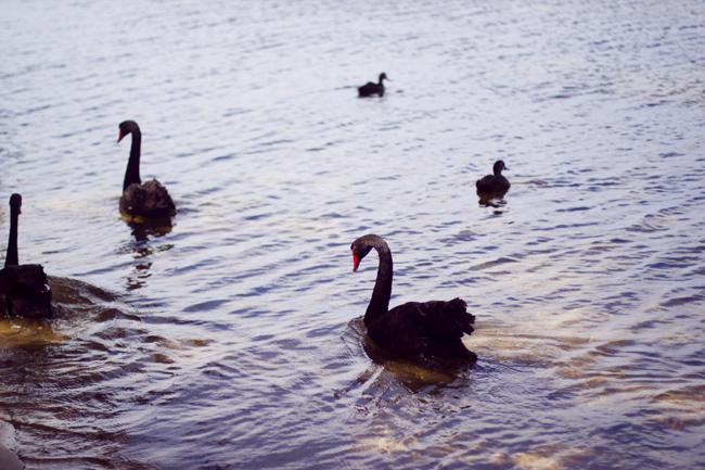 swanss
