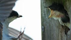 Baby Bird - Feeding (1 of 3)