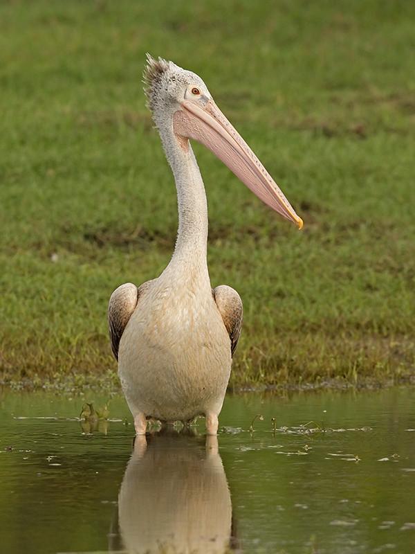 Spot Billed Pelican Sri Lanka 2013-11-29