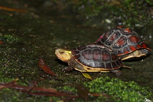 食蛇龜,圖片來源: 林哲安