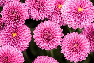 Pink Mums 3-0 F LR 9-22-13 J297