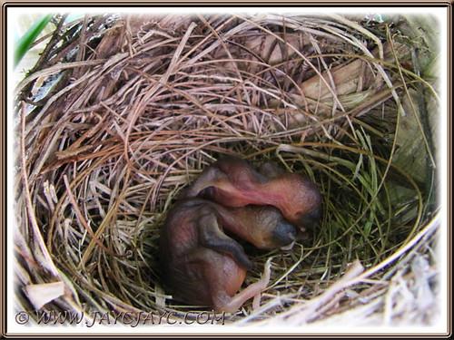 2 hatchlings of Pycnonotus goiavier (Yellow-vented Bulbuls) emerged on Jan 3 2014