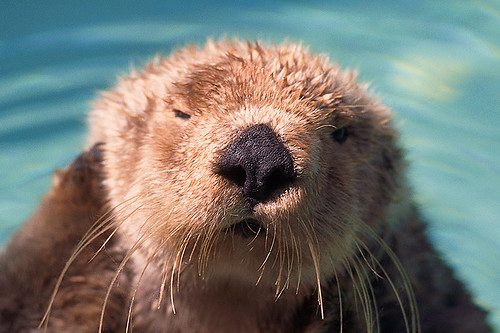 Wildlife in British Columbia, Canada: Sea Otter