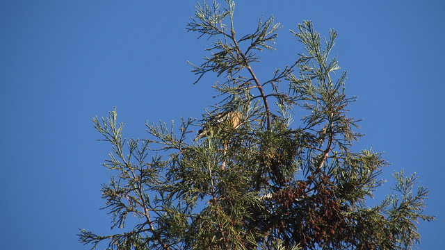 IMG_6806 red shouldered hawk in redwood tree goleta