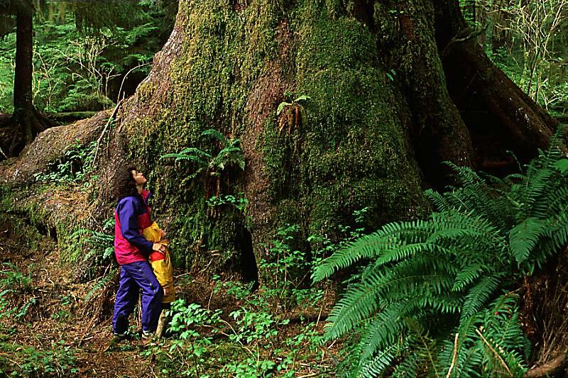 Heaven Tree in Carmanah Walbran Park, Carmanah Valley, Vancouver Island, British Columbia