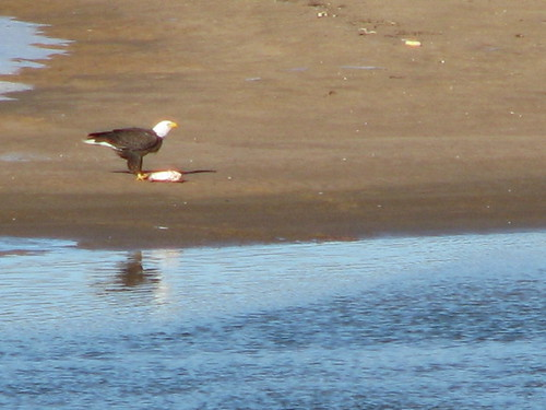 A bald eagle perches on a sandbar, eating a fish he grabbed from the Arkansas River at Tulsa, January 2014