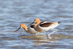 Avocet_E3B8700 (2) copy