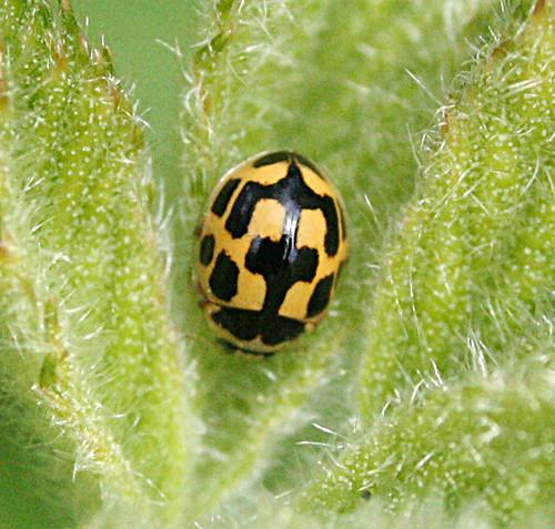 14-spot Ladybird Propylea quatuordecimpunctata Tophill Low NR, East Yorkshire May 2014