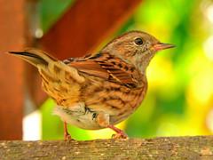 Dunnock on the birdtable!