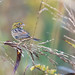 Small photo of Henslow's Sparrow (Ammodramus henslowii)