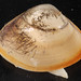 Atlantic Surf Clam - Photo (c) Smithsonian Environmental Research Center, some rights reserved (CC BY)